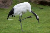 Photo Red-crowned crane (Grus japonensis), also known as the Japanese crane or Manchurian crane.
