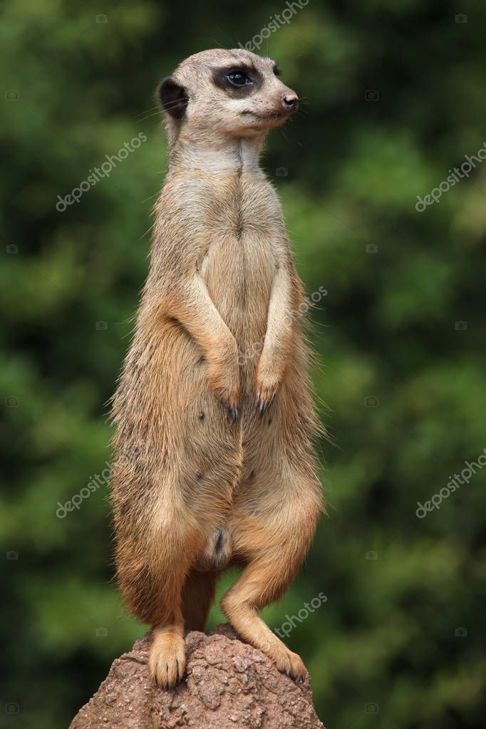 Meerkat (Suricata suricatta), also known as the suricate.