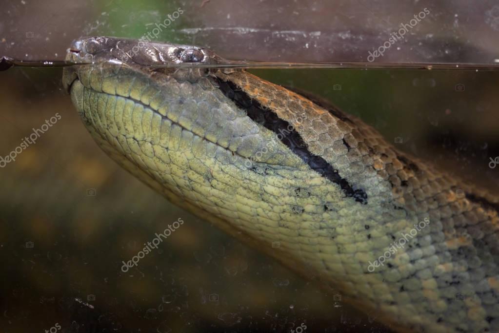 Green anaconda (Eunectes murinus). Wild life animal.