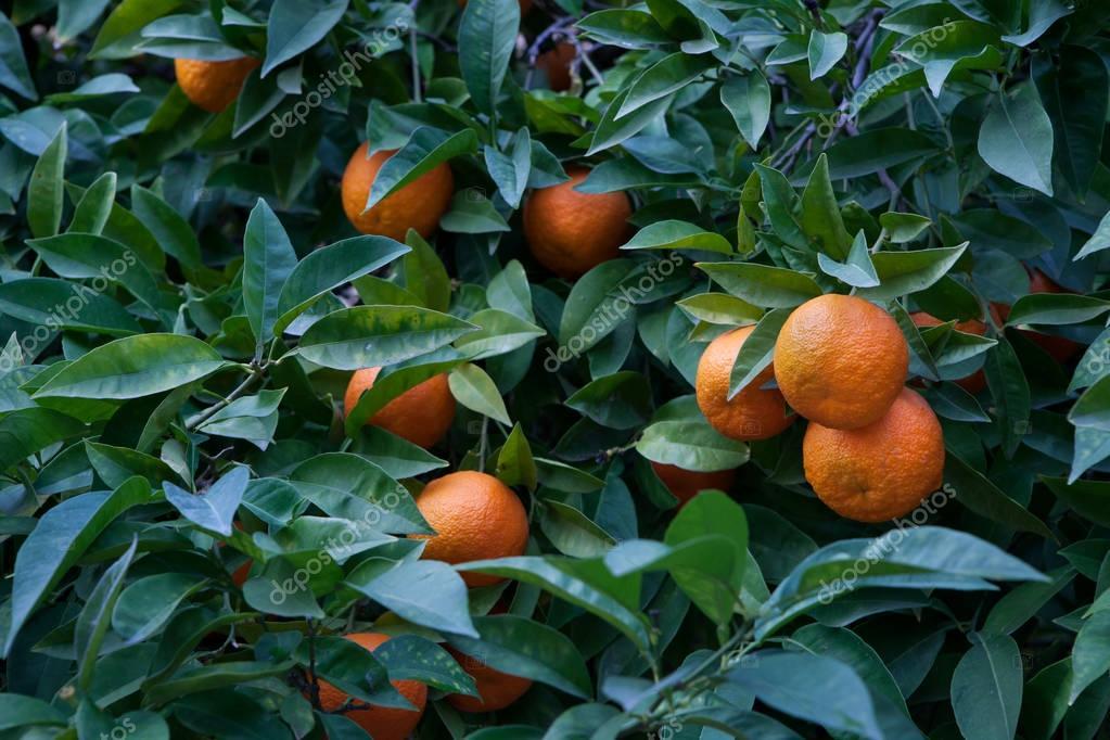 Closeup shot of a Bitter orange tree (Citrus aurantium) in Cordoba, Spain with ripe fruits