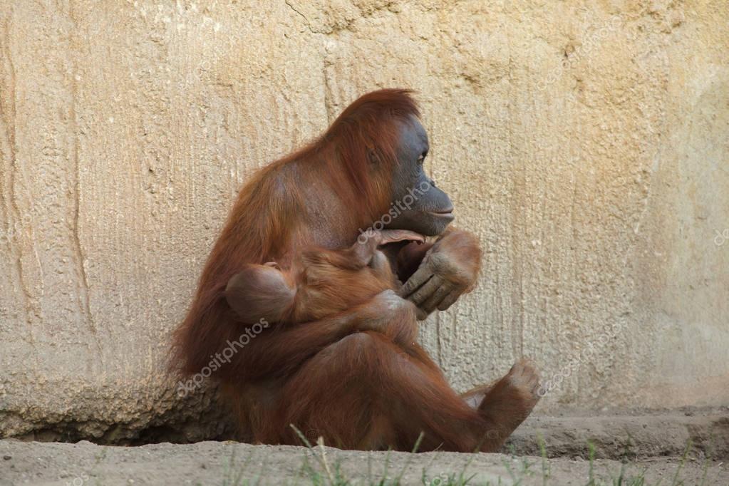 Sumatran orangutan (Pongo abelii) with a newborn baby.
