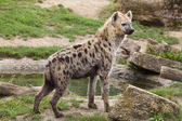 Close up of spotted hyena, also known as laughing hyena