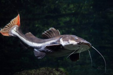 Close up of freshwater red tail catfish swimming