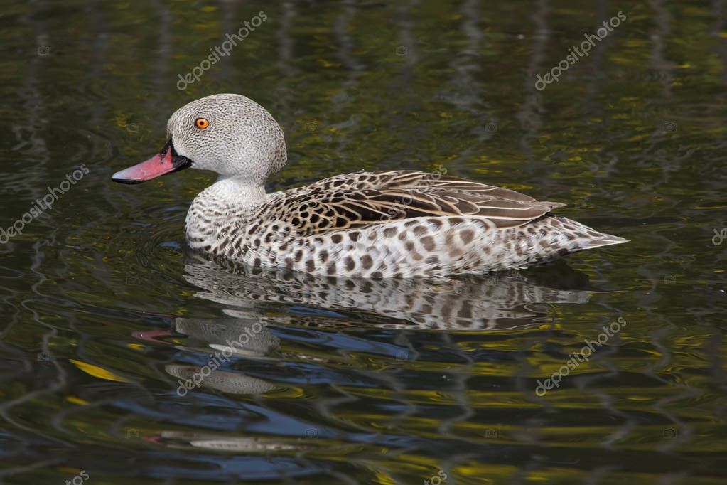 Cape teal (Anas capensis) swimming in pond