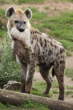 Spotted hyena (Crocuta crocuta), also known as laughing hyena holding procurement in chaps