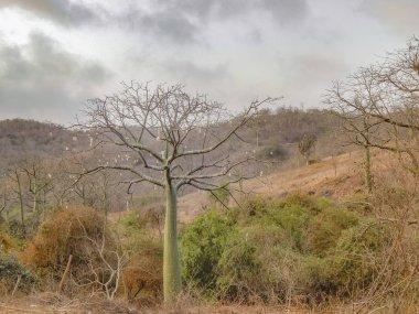 Ceiba Tree at Forest Guayas Ecuador