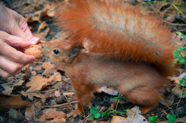 Red squirrel eating a nut from hand