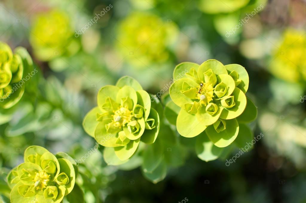 Sedum closeup in green color. Texture