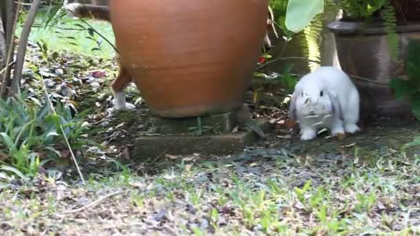 Beagle spielen mit weißen Holland lop Kaninchen im Garten