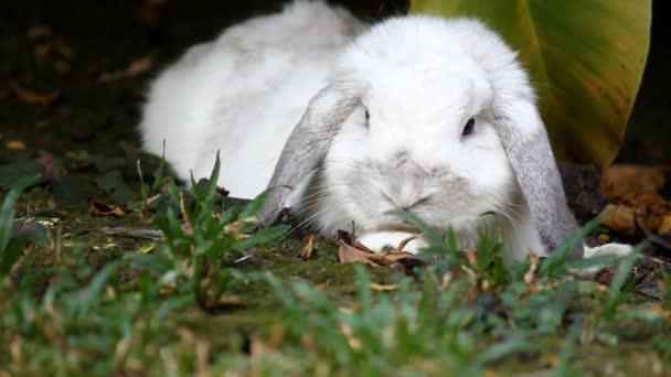 Bílé Holandsko lop králík vleže v zahradě s trávou