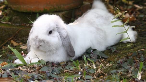 Bianco Olanda lop il coniglio che si trova giù in giardino con prato verde