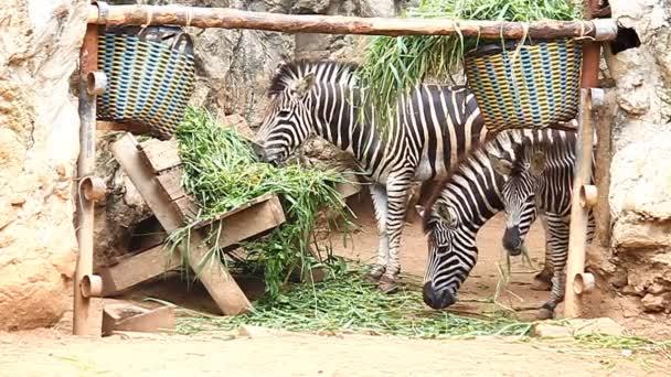 Tři zebra jíst trávu v serverové farmě
