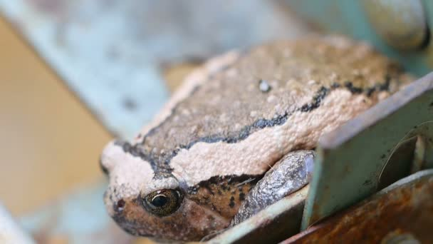 Ochsenfrosch, Tier in Thailand