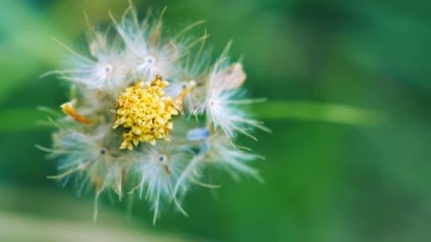 Closeup sušené trávy semena, Tridax daisy, na pozadí zelených bokeh, Tridax procumbens