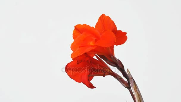 Closeup Canna lily flower isolated on white background
