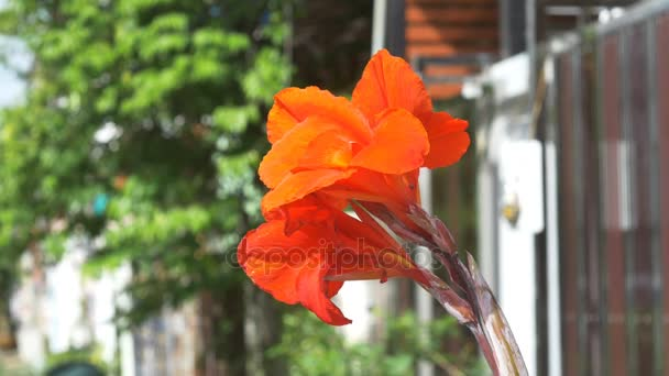 Closeup Canna lily květina s rozostření pozadí