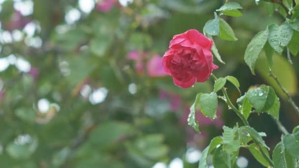 Rudá růže na strom v padající déšť s rozostření pozadí pozadí listu