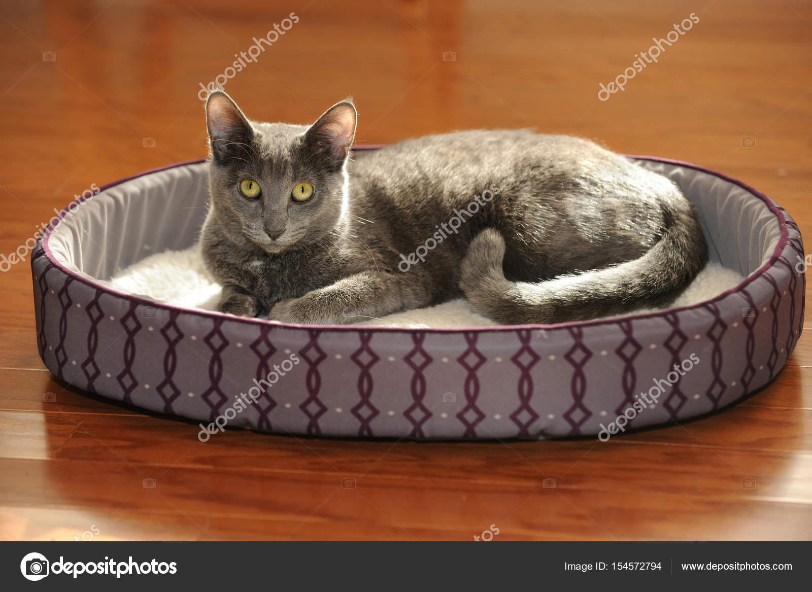 Korat Kot Odpoczynku Na łóżku Zdjęcie Stockowe Ginosphotos1
