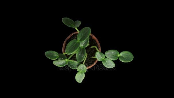 Fototropismu efekt v pěstování okurky, Rgb + Alfa podkladu formát, horní