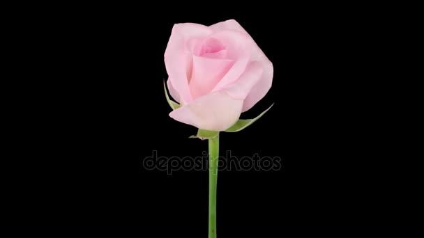 Gyorsított nyitó Sweet Akito rose Rgb + alfa Matt formátum