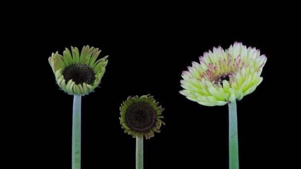 Časová prodleva pěstování a otevírání růžových, růžových a bílých gerber květin 1a2 izolovaných na černém pozadí