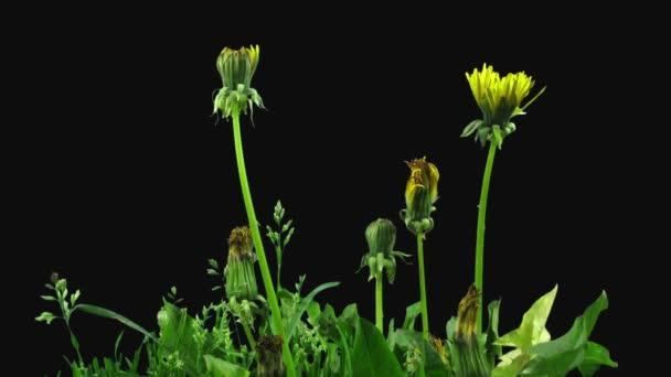 Time-lapse otevření Pampeliška květina 30c2 izolované na černém pozadí