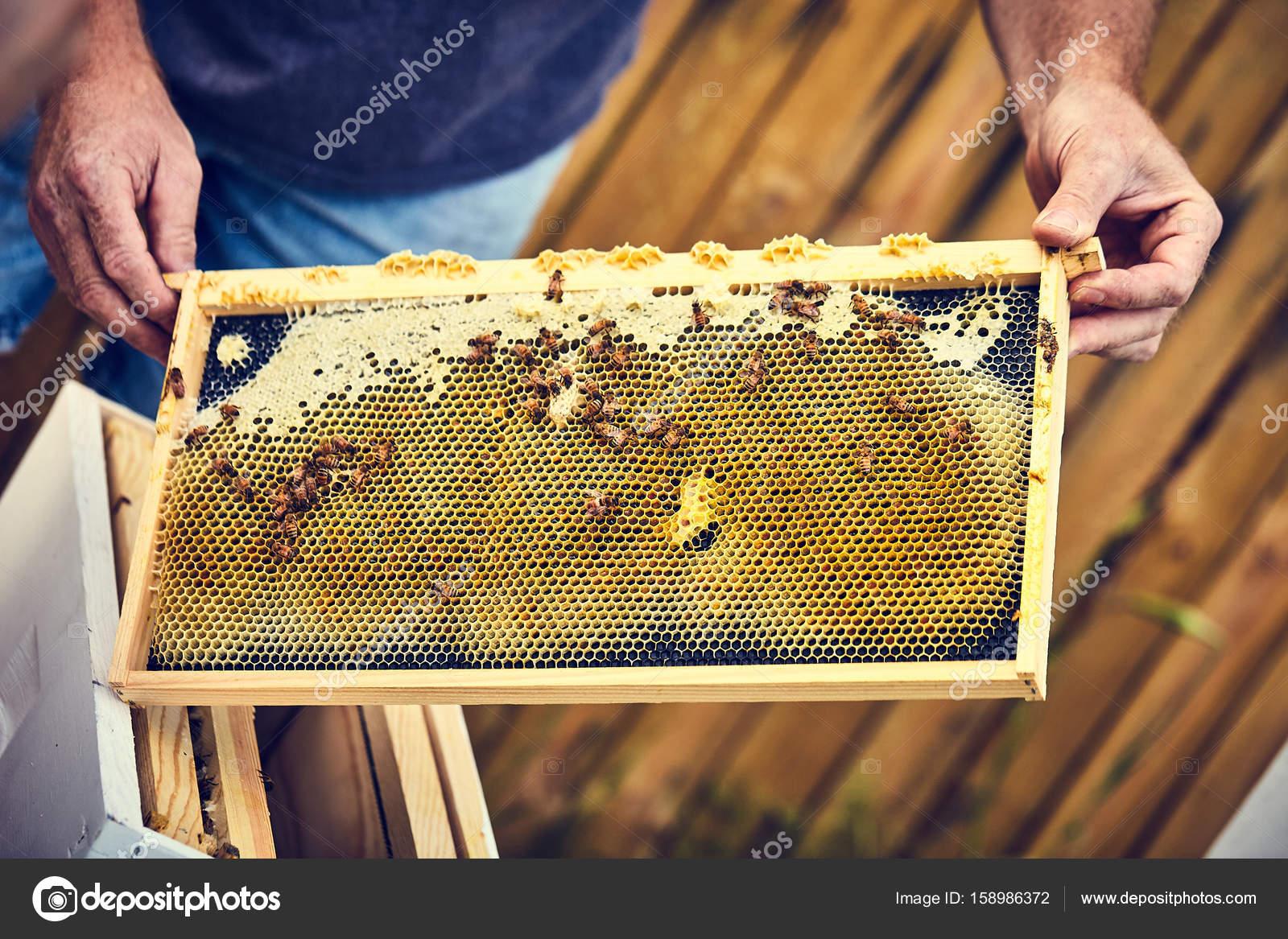 Manos del apicultor sosteniendo el marco de la colmena con abejas ...