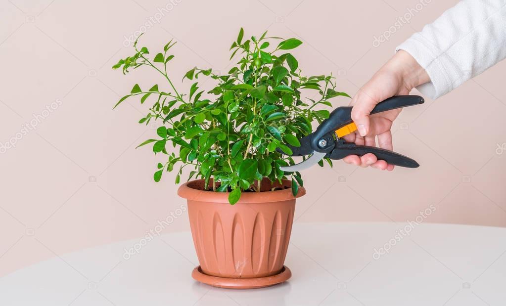 A woman cuts using modern pruning shears houseplant
