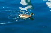 Drake swims on Lake Geneva, Switzerland