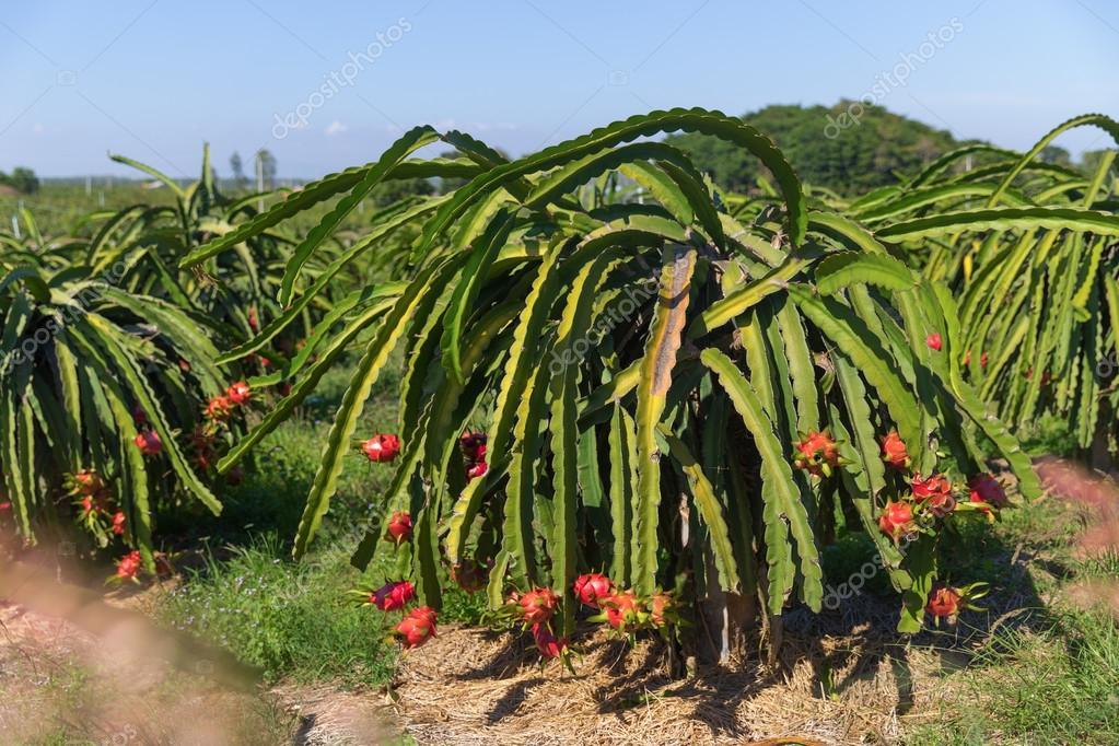 Fruta do drag o ou pitaya pitahaya planta o em tail ndia - Arbre fruit du dragon ...