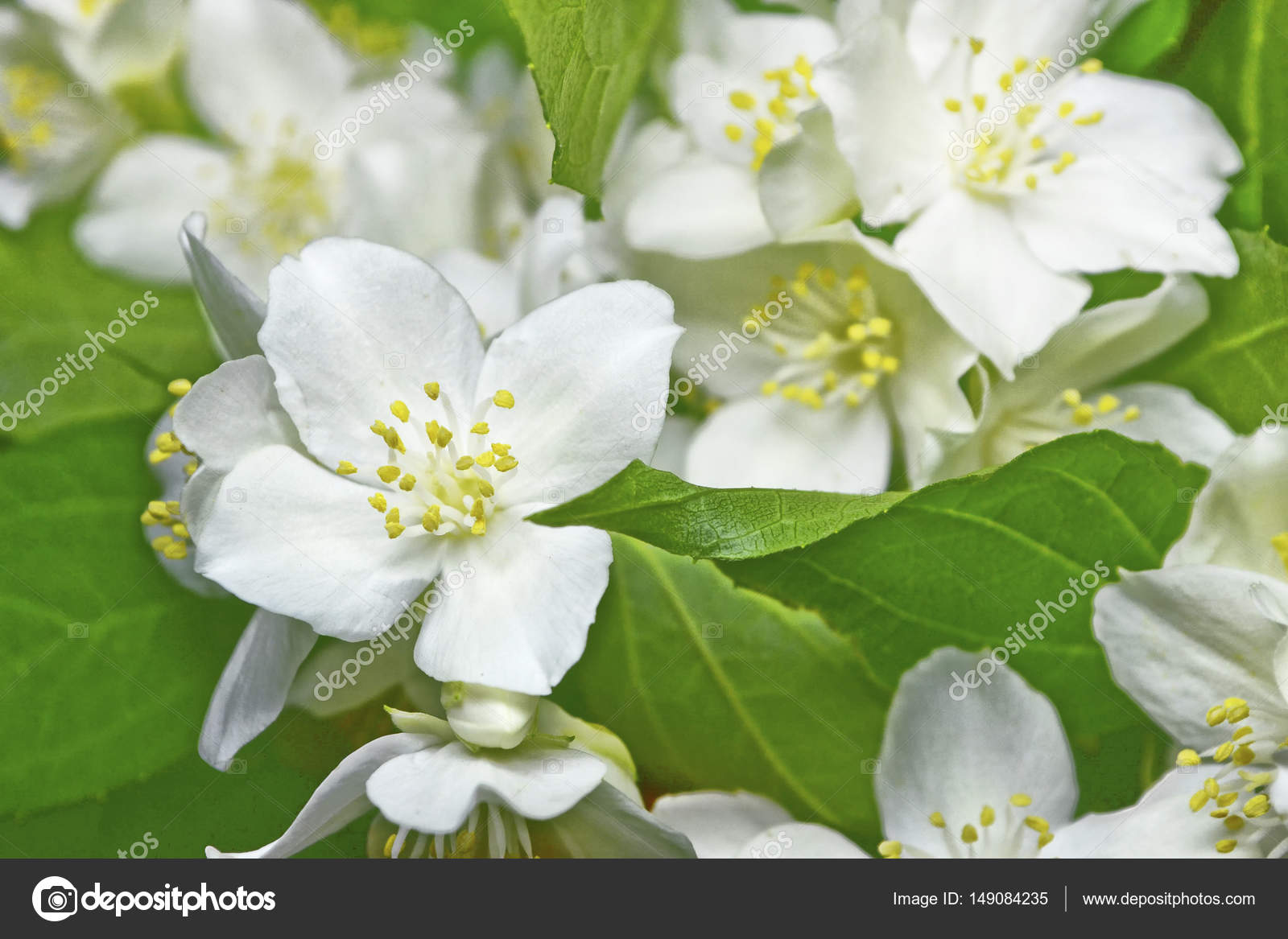 White Jasmine The Branch Delicate Spring Flowers Stock Photo
