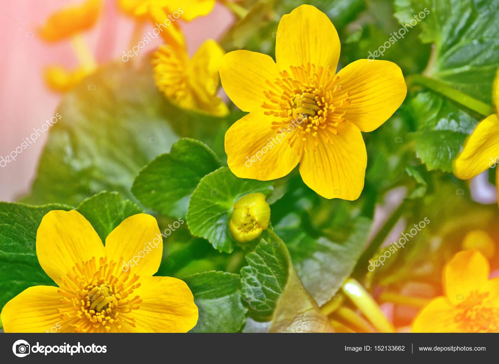 Fotos Flores Amarillas Y Sus Nombres Coloridas Flores Amarillas