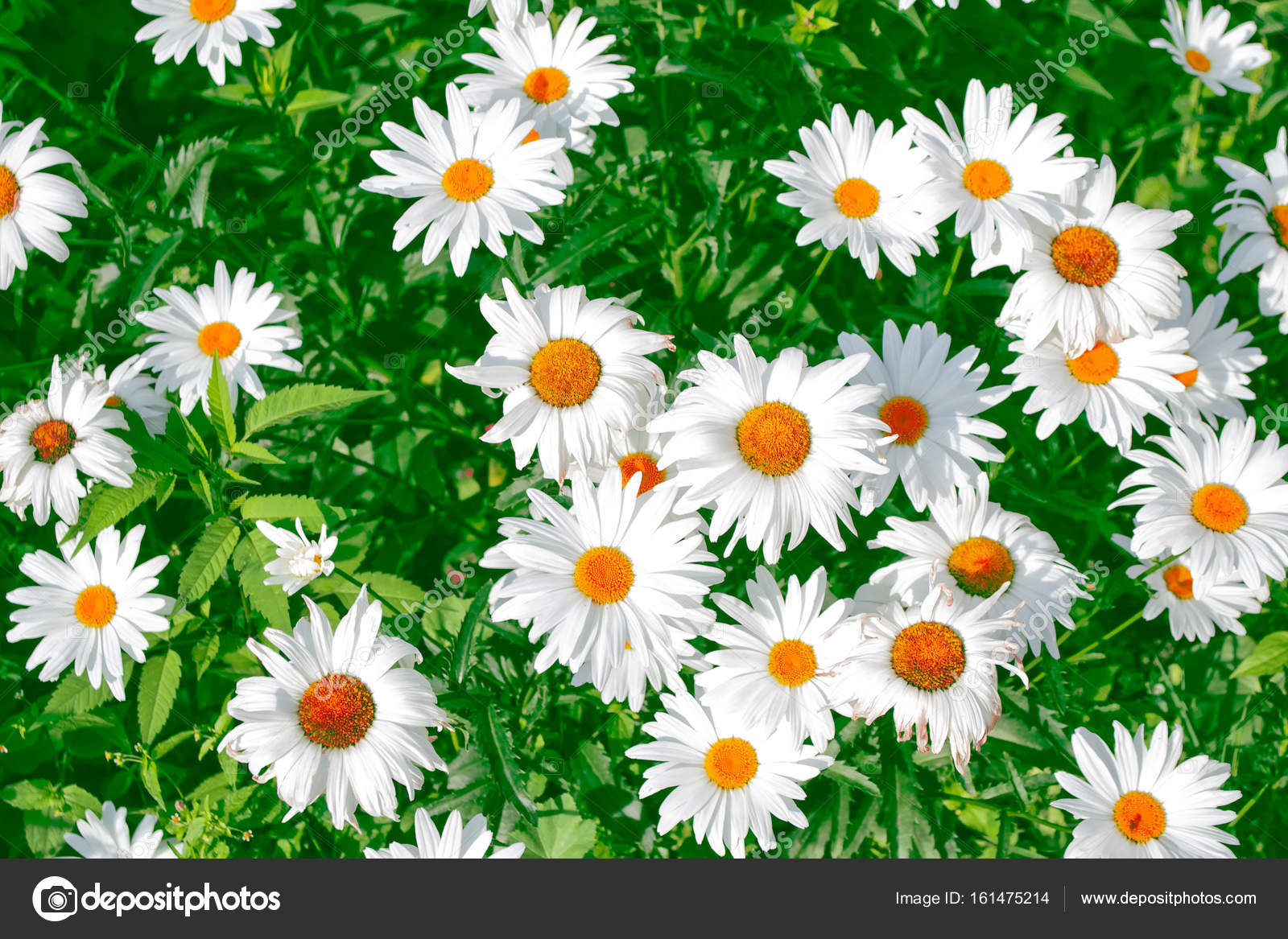 White Bright Daisy Flowers On A Background Of The Summer Landsca