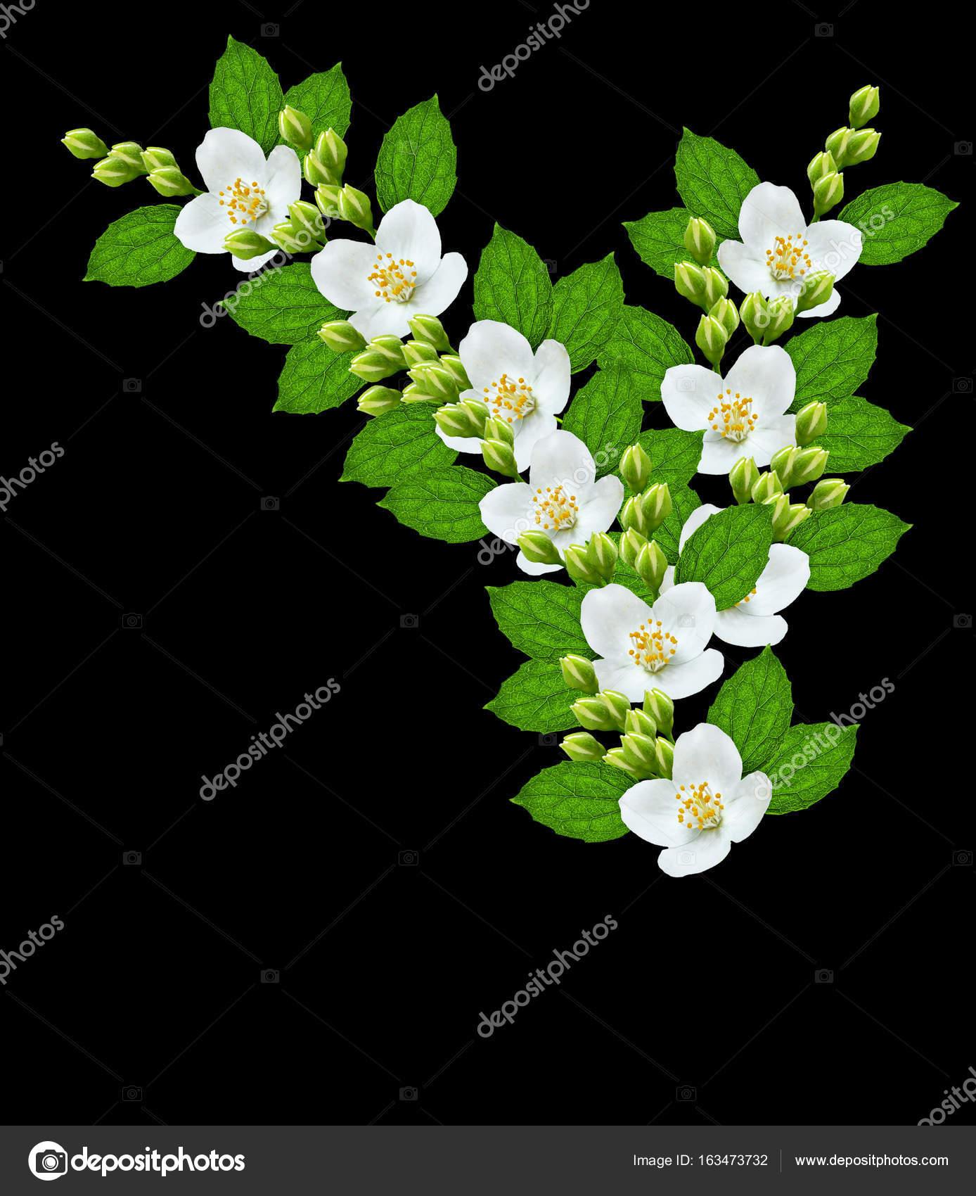 Branch Of Jasmine Flowers Stock Photo Alenalihacheva 163473732
