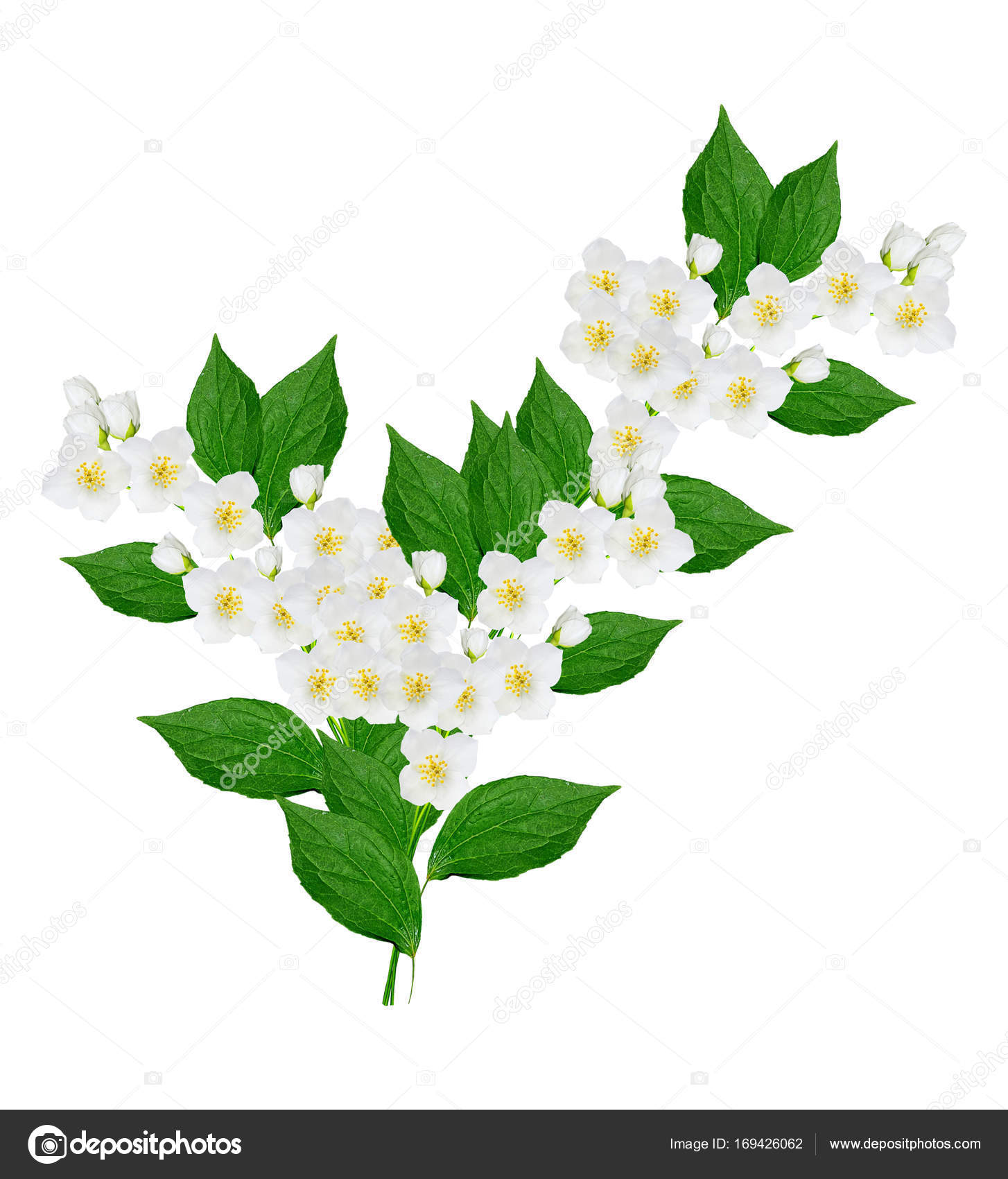 Branch Of Jasmine Flowers Stock Photo Alenalihacheva 169426062