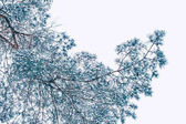 Inverno congelato foresta con gli alberi coperti di neve