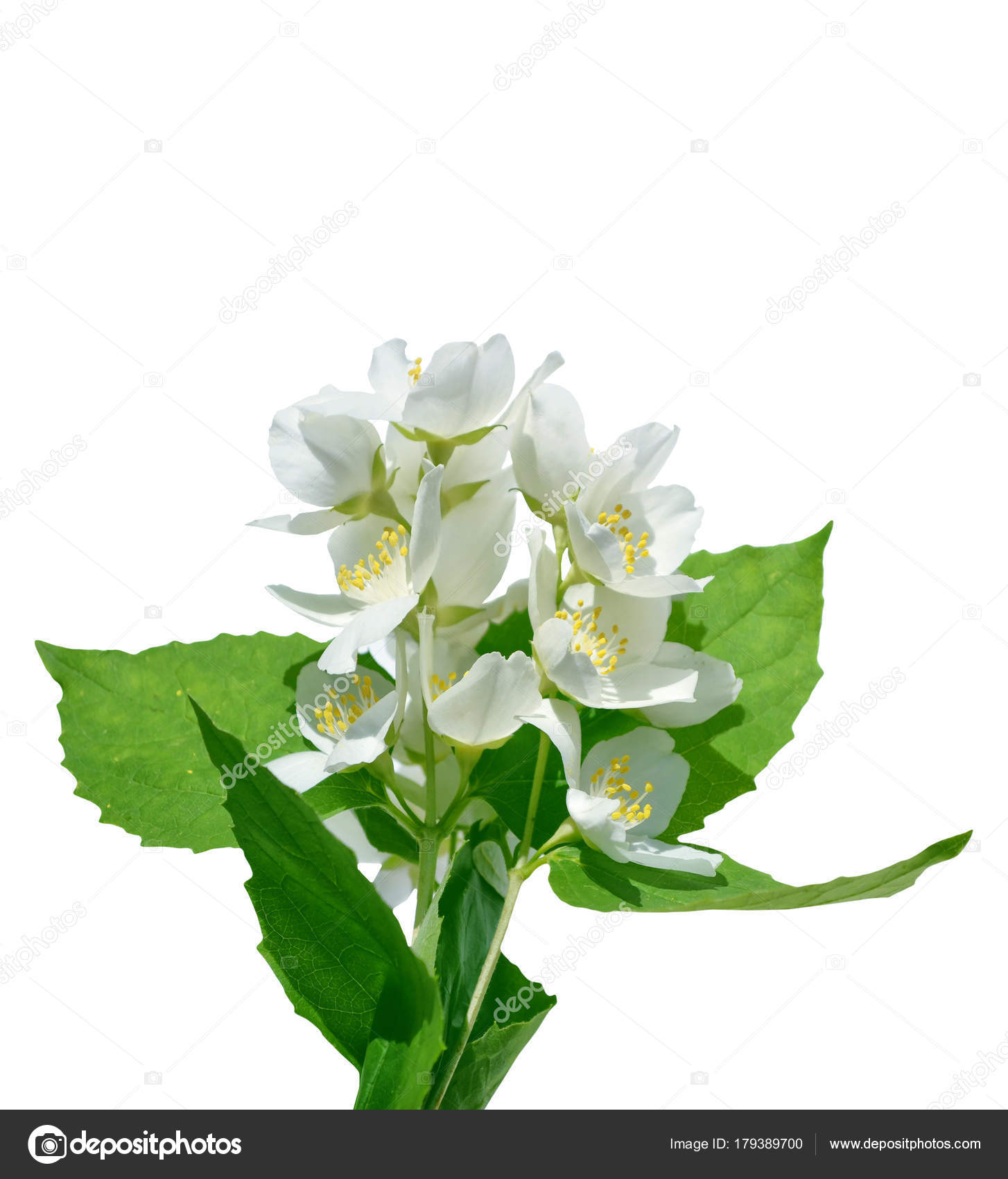 Branch Of Jasmine Flowers Stock Photo Alenalihacheva 179389700