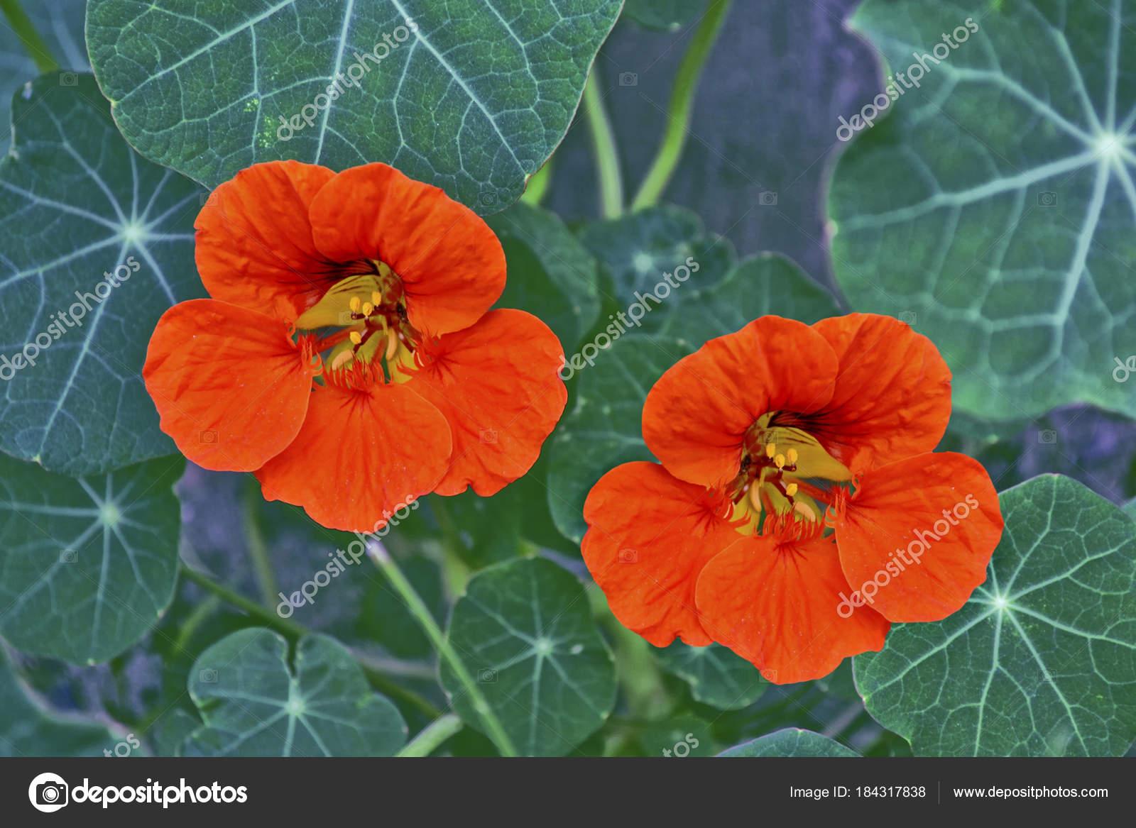 Fleurs De Capucine Paysage Dété Photographie Alenalihacheva