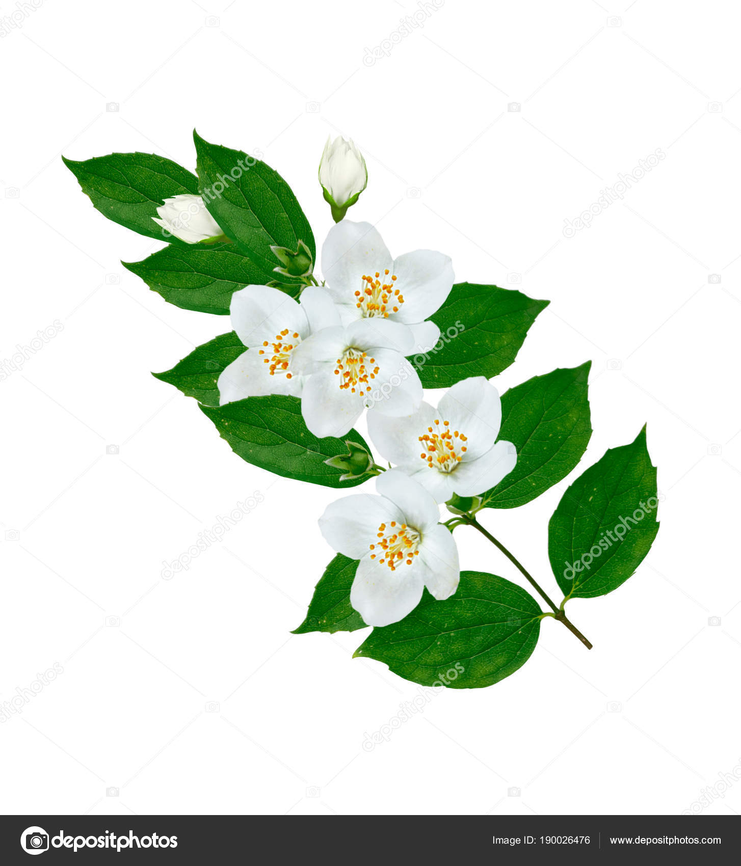 Branch Of Jasmine Flowers Stock Photo Alenalihacheva 190026476