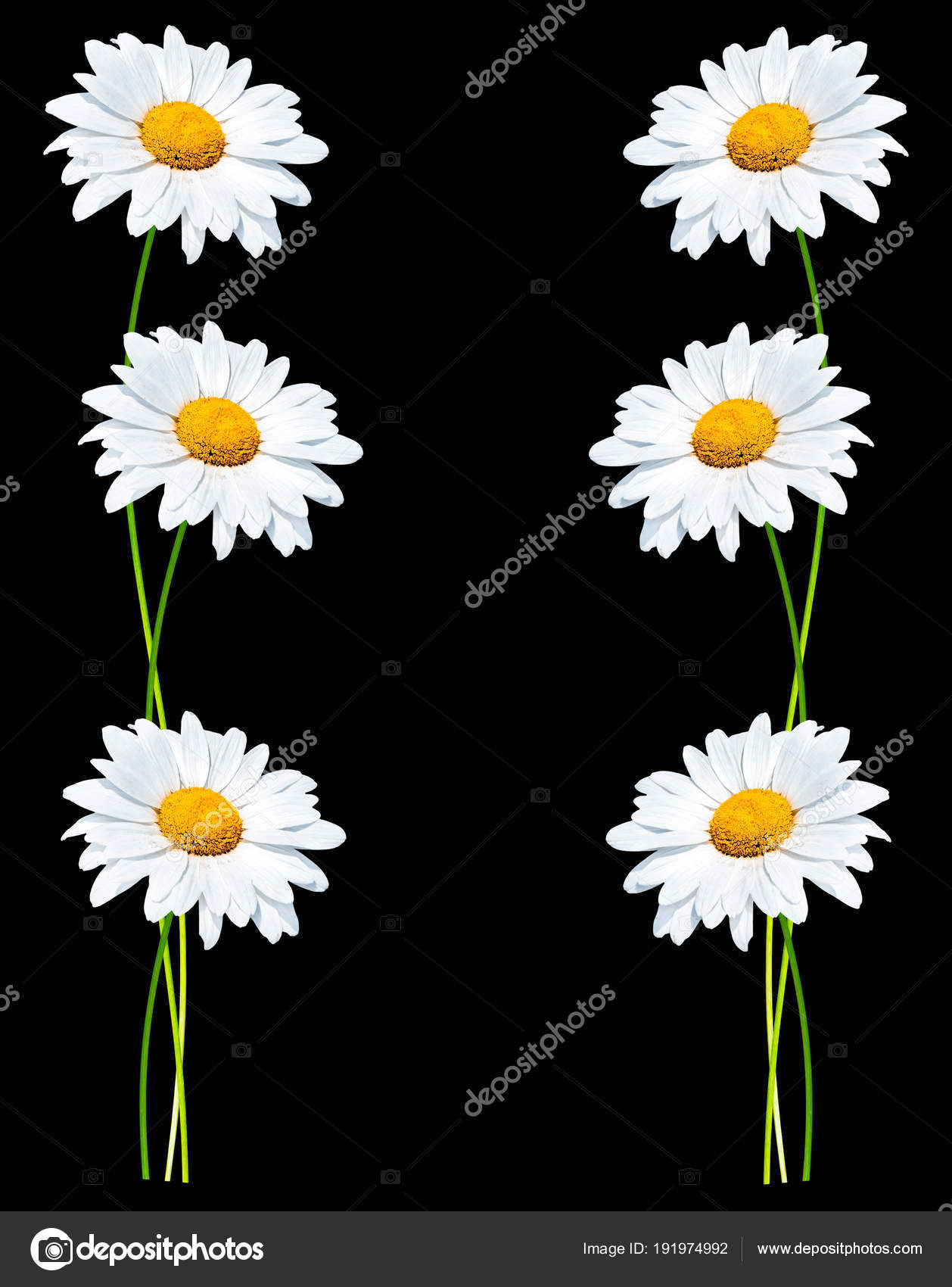 Daisies summer white flower stock photo alenalihacheva 191974992 daisies summer white flower isolated on black background photo by alenalihacheva izmirmasajfo