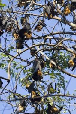The sleeping flying foxes