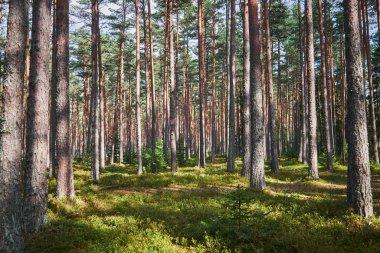 """Картина, постер, плакат, фотообои """"высокий сосновый лес модульные"""", артикул 324396938"""
