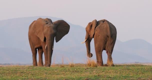Afrikai Bush elefánt - Loxodonta africana pár két elefánt a Zambezi folyó partján, Mana medencék Zimbabwéban, Zambia hegyek közelében