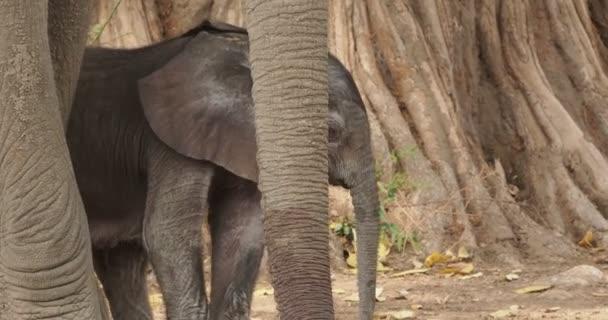 Africký slon - Loxodonta africana malé mládě slon s matkou, pití, sání mléka, chůze a jíst listy v Mana bazény v Zimbabwe.