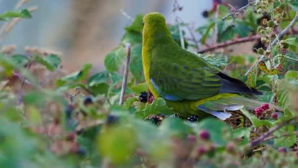 Zöld Rosella-Platycercus caledonicus vagy Tasmanian Rosella egy faj a papagáj őshonos Tasmania és Bass-szoros szigetek.