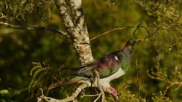 Új-zélandi galamb - Hemiphaga novaeseelandiae - kereru ül és táplálkozik a fán Új-Zélandon. Új-Zélandra jellemző nagy galambok zöld leveleket esznek a fáról..