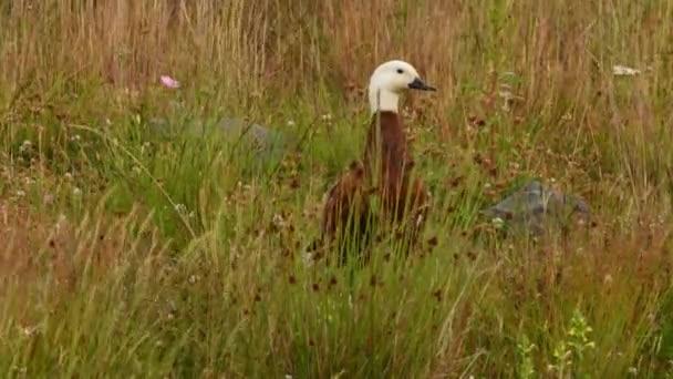 Paradicsom Shelduck - Tadorna variegata - putangitangi kacsa fehér fejjel, nő áll a fűben Új-Zélandon.