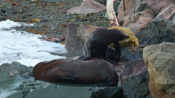 Új-Zéland Fur Seal - Arctocephalus forsteri - kekeno két fóka harcol és fekszik a sziklás parton az öbölben Új-Zélandon. Hullámok és harc.