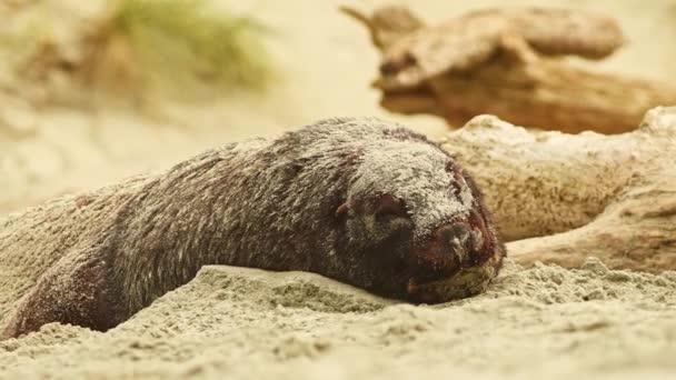 Új-zélandi oroszlánfóka - Phocarctos hookeri - whakahao fekszik a homokos strandtól, a hullámok a Bay, Új-Zéland.
