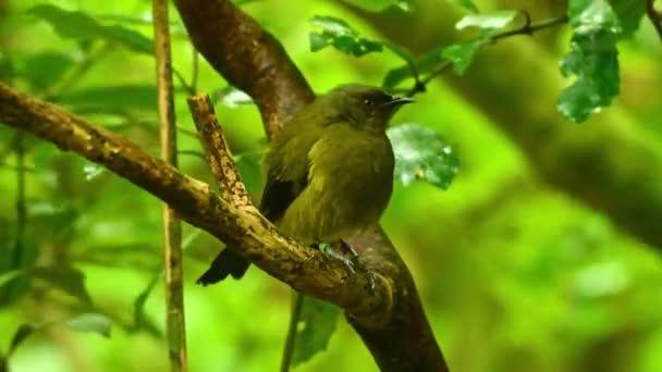 Bellbird - Anthornis melanura - makomako maori nyelven, endemikus madár - tiszteletreméltó Új-Zélandról a zöld erdőben.